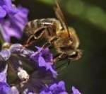 Masowe wymieranie pszczół – czy czeka nas katastrofa?