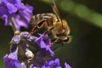 pszczolazapylacz